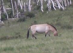 Mongolie août 2010 958takhi.jpg